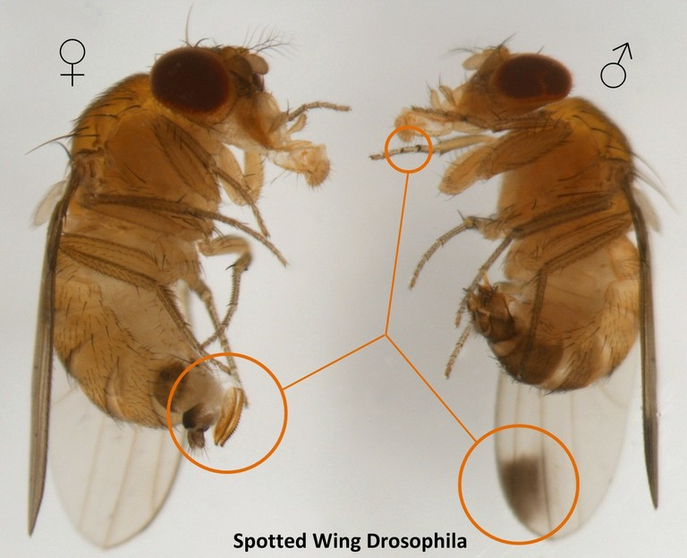 Comparison between a Spotted Wing Drosphila male and female.