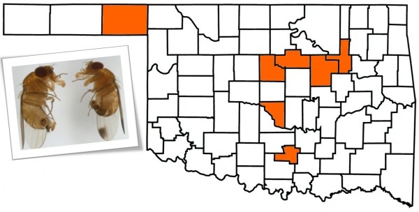 Oklahoma map of spotted wing drosphila emergence in the various counties.